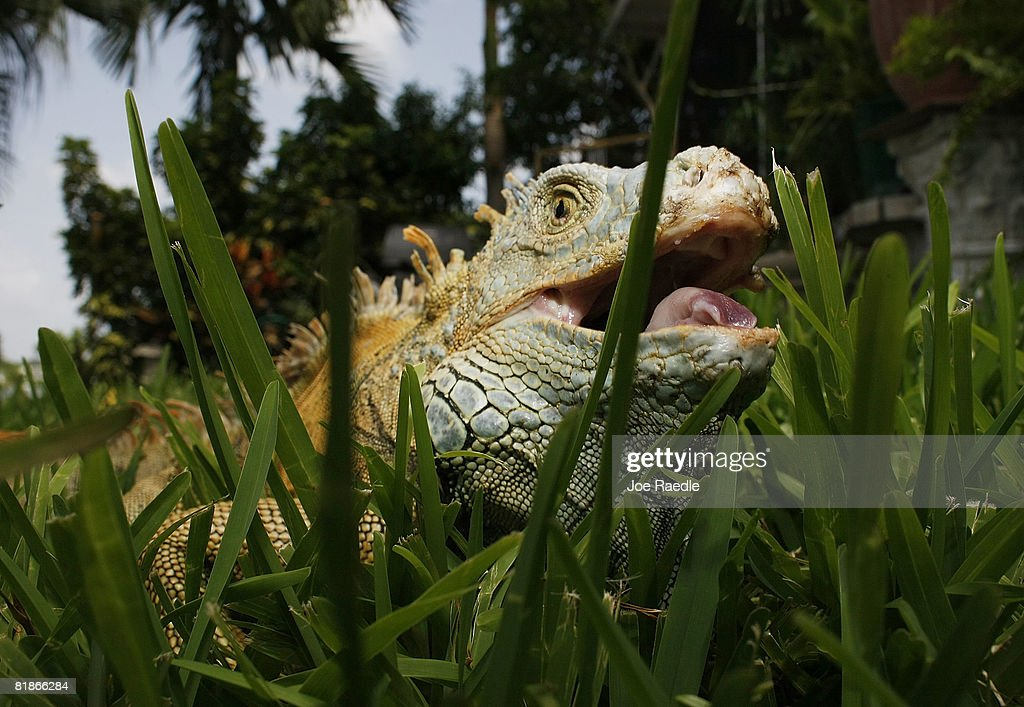 Florida Fish And Wildlife Commission Tries To Curb Iguana Population : News Photo