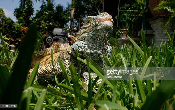 An Iguana is seen July 8 2008 in Davie Florida Because of the rapid spread of the lizards in the South Florida area some county commissioners will...