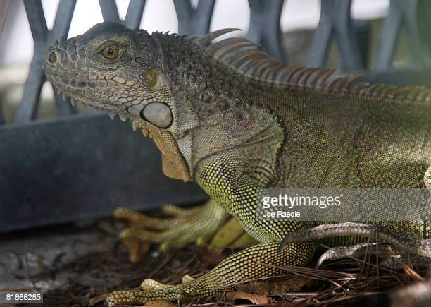 An Iguana is seen July 8 2008 in Hollywood Florida Because of the rapid spread of the lizards in the South Florida area some county commissioners...