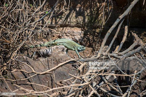 An iguana on the bank of a tributary of the Cuiaba River near Porto Jofre in the northern Pantanal, Mato Grosso province in Brazil.