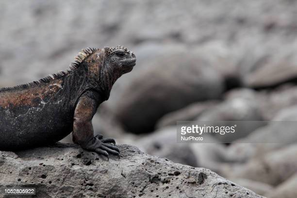 An iguana on the rocks at La Lobería beach in San Cristobal Ecuador october 2018