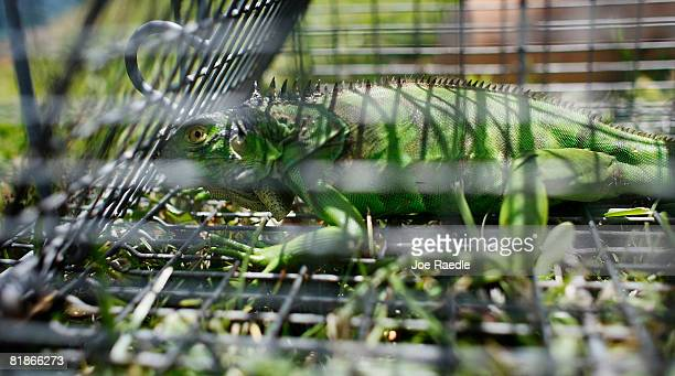 An Iguana sits in the trap set by Critter Control specialist Tari Dachton as she tries to capture Iguanas in the back yard of Gloria Johnson July 8...