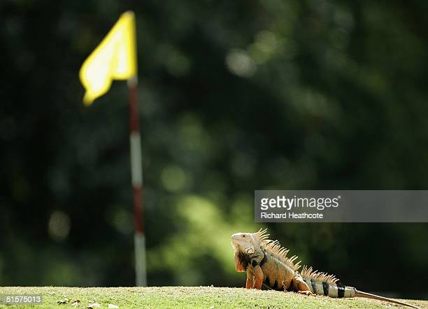An Iguana sits on the fourth hole of the Ocean course during practice for the Eisenhower trophy The World Amateur Team Championships held at The...