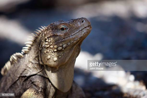An iguana stands alert next to the military prison October 27 2009 at the US Naval Base at Guantanamo Bay Cuba The iguanas which are endangered...