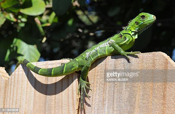 An iguana suns itself on a fence February 13 2016 in Ilamorada Florida / AFP / Karen BLEIER