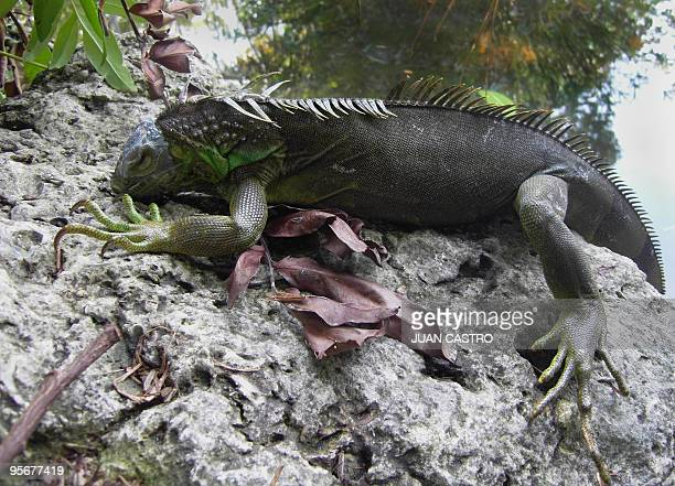 An iguana which fell from a tree climbs a rock in Miami on January 8 2010 as an unusual cold spell has hit the normally balmy southern state of...