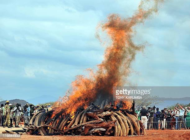 An illegal ivory stockpile is burned at the Tsavo National Park on July 20 approximately 350 kilometres southeast of the capital Nairobi Kenya's...