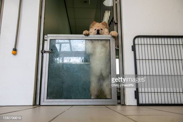 An illegally imported chow chow puppy in a kennel at a Dogs Trust rehoming facility on May 6, 2021 in an unspecified location in the United Kingdom....