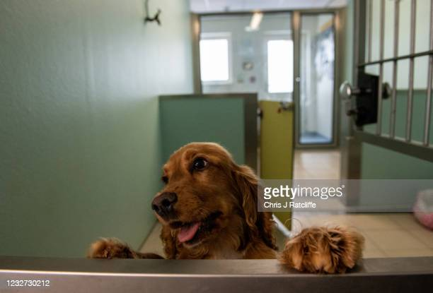 An illegally imported cocker spaniel puppy in a kennel at a Dogs Trust rehoming facility on May 6, 2021 in an unspecified location in the United...