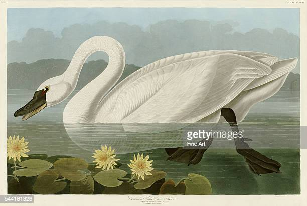 An illustration engraved by Robert Havell Jr and published in The Birds of America by John James Audubon 1838