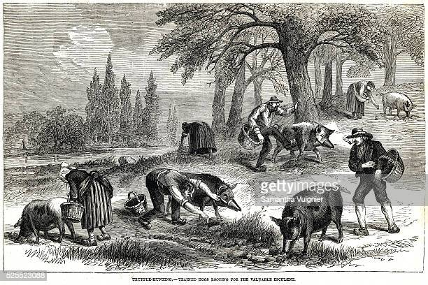 An illustration from circa 1890 captioned 'Trufflehunting Trained hogs rooting for the valuable esculent'