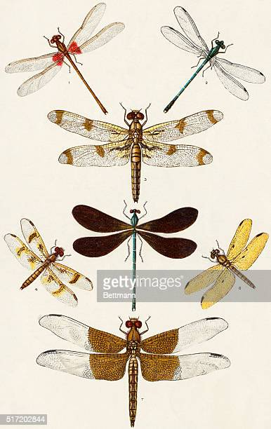 An illustration of 7 dragonflies is seen as follows RedSpotted Damsel Fly GreenBodied Damsel Fly Bandoo Dragonfly AmberWing BlackWing AmberWing and...