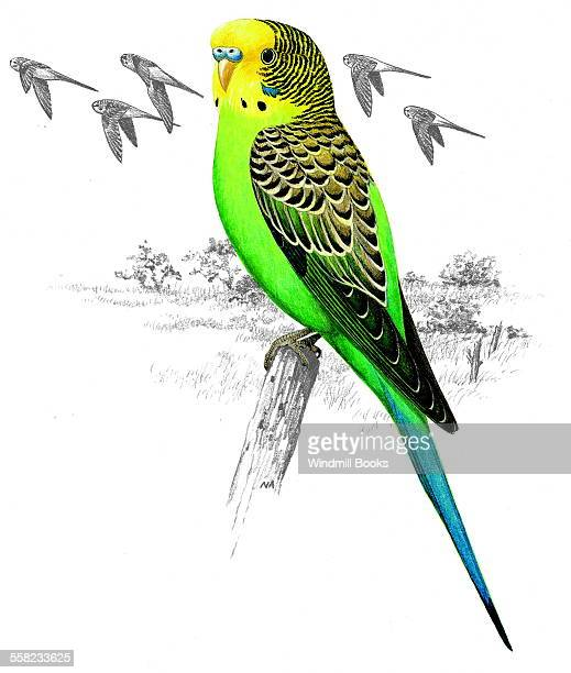 An illustration of a Budgerigar perched on a branch