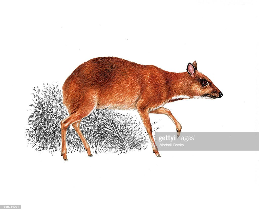 Greater mouse deer : News Photo
