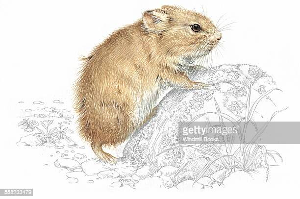 An illustration of a Pika.