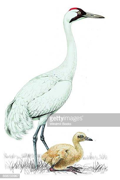 An illustration of a Whooping crane with its young