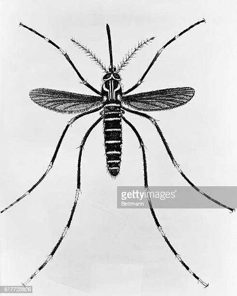 An illustration of Aedes aegypti a type of mosquito that carries yellow fever