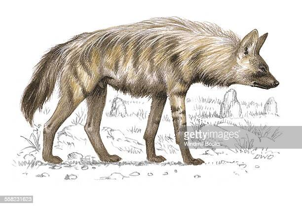 An illustration of an Aardwolf