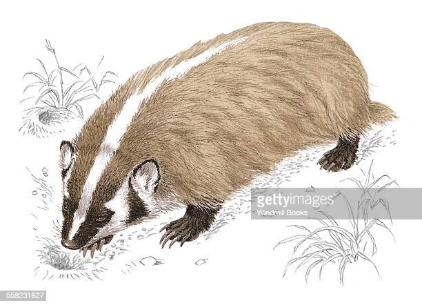 An illustration of an American Badger walking in the grasslands