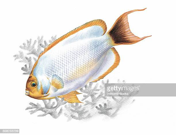 An illustration of an Angel fish
