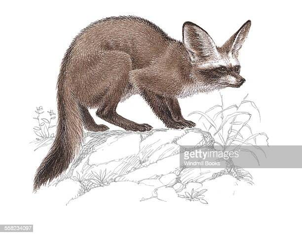 An illustration of an Bateared fox which uses its big ears to locate its prey