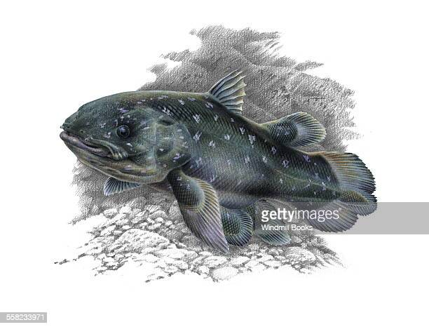 An illustration of an Coelacanth