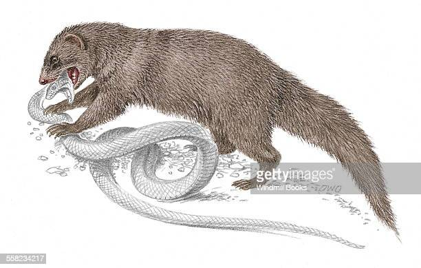 An illustration of an Indian grey mongoose fighting with a snake