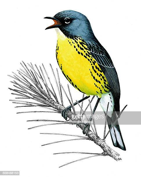 An illustration of an Kirtland's warbler