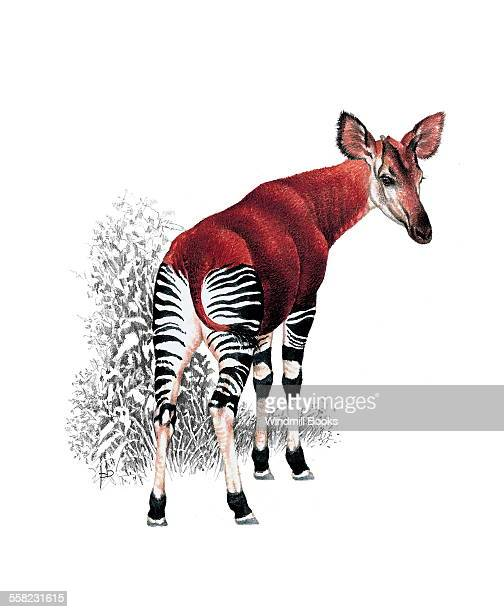 An illustration of an Okapi which is an herbivore
