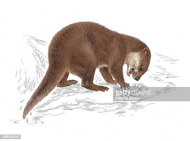 An illustration of an Oriental smallclawed otter capturing a crab