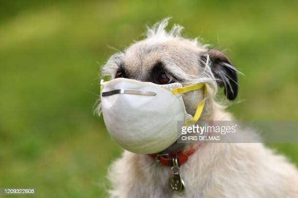 An illustration photo shows Ziggie the dog wearing a mask put on her face by her owner in Los Angeles on April 5 2020 After a tiger in the Bronx zoo...