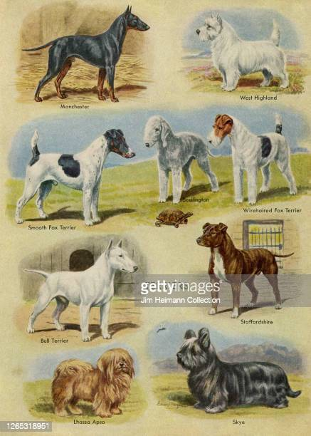 An illustration shows different breeds of Terriers, circa 1924.