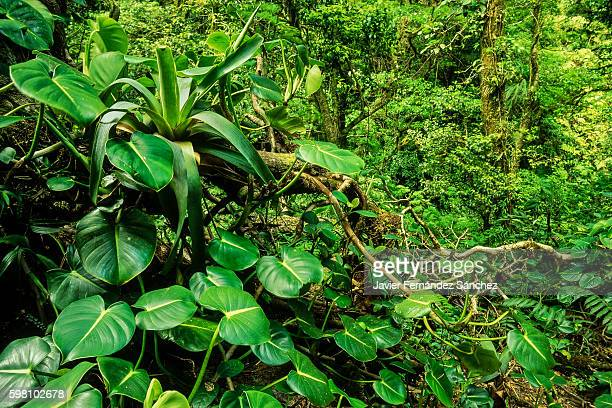 An image idyllic with plants inside the jungle Monteverde cloud forest in Costa Rica.
