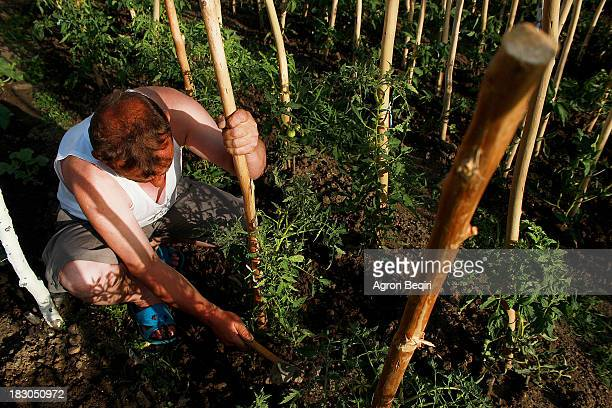 CONTENT] An image of a man working on his tomatoe field during summer season