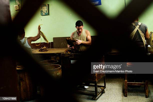An image of Ernesto Che Guevara hangs on a wall as a worker sort tobacco leaves in the Partagas cigar factory in Old Havana during the 13th Habanos...