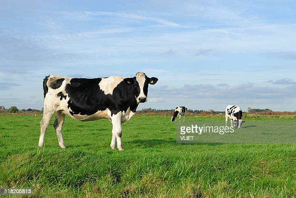 An image of three cows in a meadow