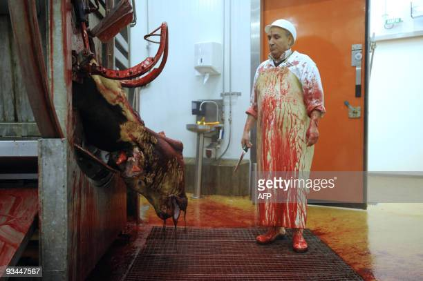 An imam looks at a cow after cutting its throat according to the muslim rite in the slaughterhouse of Cernay on November 27 2009 for the muslim Aid...