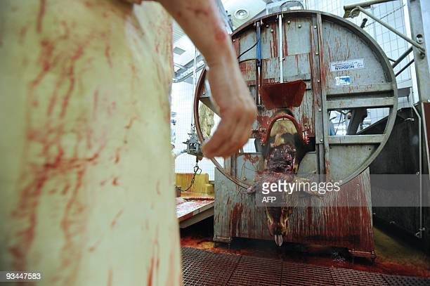 An imam looks at a cow after cutting its throat according to the muslimrite in the slaughterhouse of Cernay on November 27 2009 for the muslim Aid...