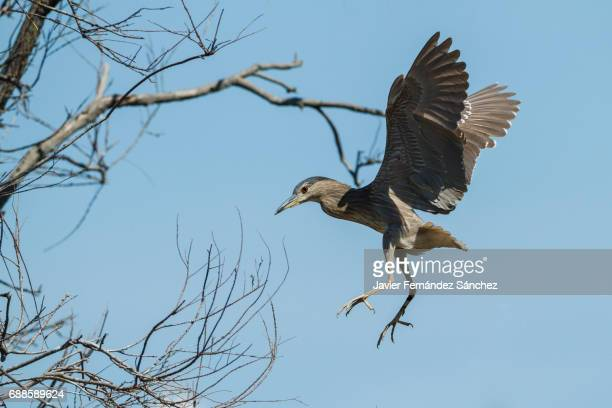 an immature black-crowned night heron (nycticorax nycticorax) comes flying to the branches of a tree. - サントマリードラメール ストックフォトと画像