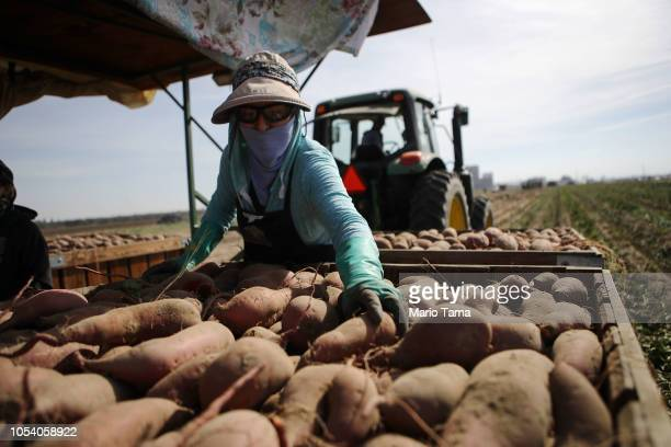 An immigrant from Mexico helps harvest sweet potatoes on a farm in California's 10th congressional district on October 26, 2018 near Turlock,...
