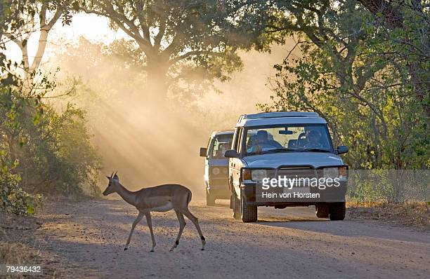 An Impala (Aepyceros melampus) ewe walks across the road with tourists viewing from their vehicle. Kruger National Park, Mpumalanga Province, South Africa
