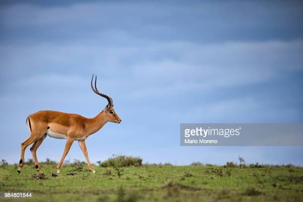 An impala in Maasai Mara National Reserve, Kenya.