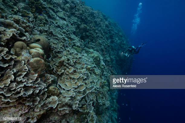 An impressive dropoff into the waters of Tubbataha with a diver who allows you to appreciate the size on April 24 2018 in Tubbataha Philippines In...