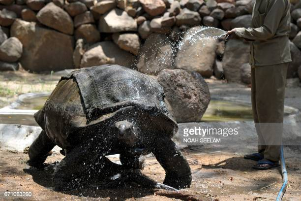 An Indian animalkeeper uses a hose to soak a gunny bag on the back of a tortoise to keep it cool in an enclosure at The Nehru Zoological Park in...
