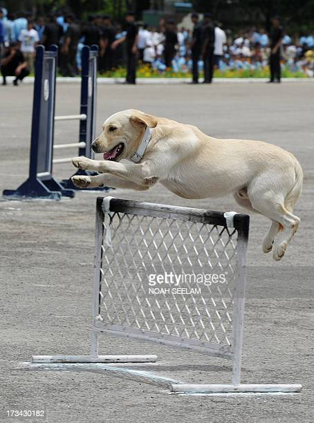 An Indian Army commando's dog performs during a show at a parade ground in Secunderabad the twin city of Hyderabad on July 14 on the eve of the...