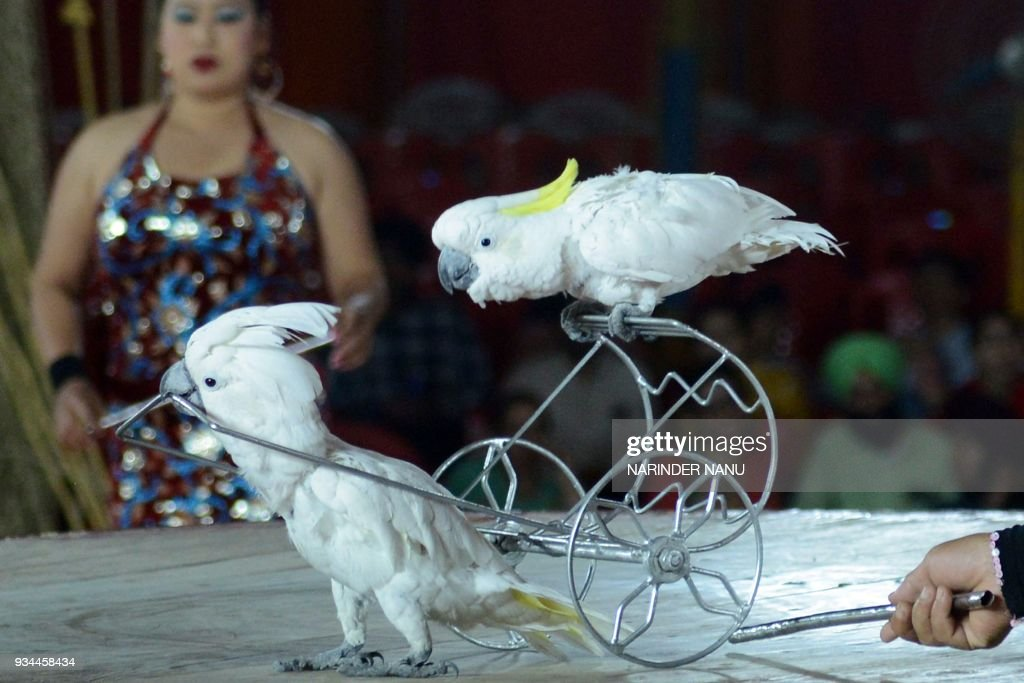 An Indian artist presents a bird show with parrots during the inauguration of the Asiad Circus in Amritsar on March 19 2018 / AFP PHOTO / NARINDER...