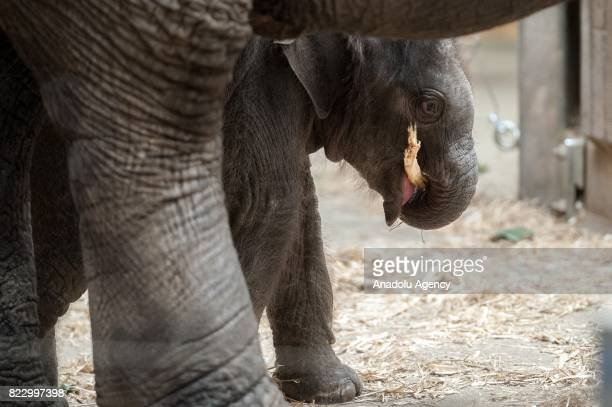 An Indian baby boy elephant named Chandra which was born on 8th of July is seen at the Ostrava Zoo in Ostrava Czech Republic on July 26 2017 The...