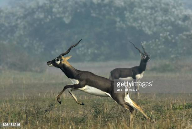 An Indian blackbuck also known as the Indian antelope jumps in a field near Bhetnoi village in Ganjam District in Odisha state on December 25 2017 /...