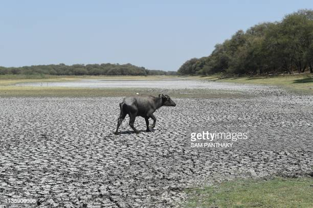 An Indian buffalo walks on the dry bed of Thol Bird Sanctuary, a shallow water reservoir, in Thol village, some 25 km from Ahmedabad on April 9,...
