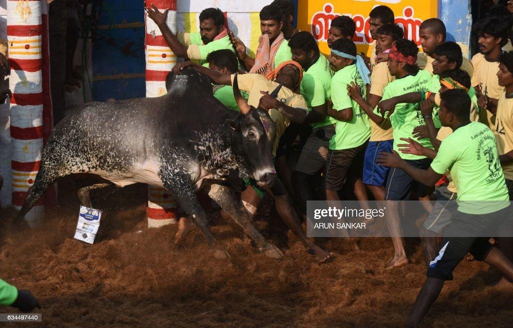 jallikattu bull images hd 1080p